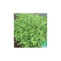 Sarriette Annuelle Bio - Plante aromatique et médicinale, on l'utilise beaucoup dans les sauces, les marinades et les grillades. On utilise ses feuilles en cuisine, en fin de cuisson, et ses fleurs en infusion.