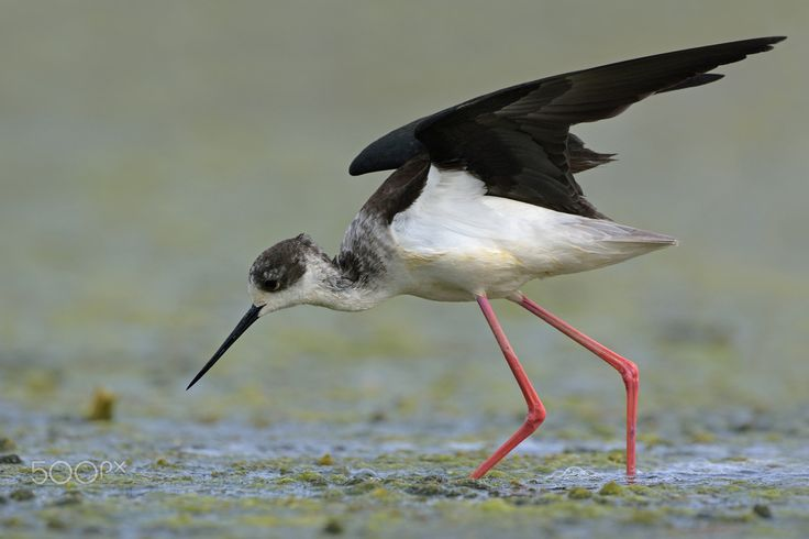 Black-winged stilt - Thank you all for paying attention on my work, your likes and your comments