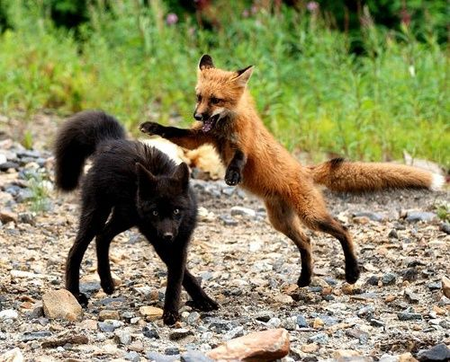 Have never seen a black fox love it