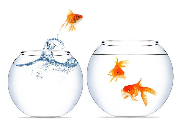Home Change For A Goldfish To A Better Place Goldfish Stock Images Free Photo