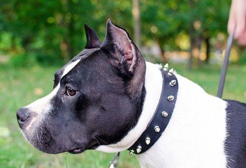 #Collier en cuir «Bow-Wow» pour chien #amstaff #bullmastiff #bullterrier #husky #goldenretriever #rottweiler #boxer #bulldoganglais, décoré de piques chromées. Largeur 30 mm, coloris noir / marron / beige naturel -> 30,30 €  @fordogtrainersf Pensez à mentionner «J'aime» si ce produit vous plaît.