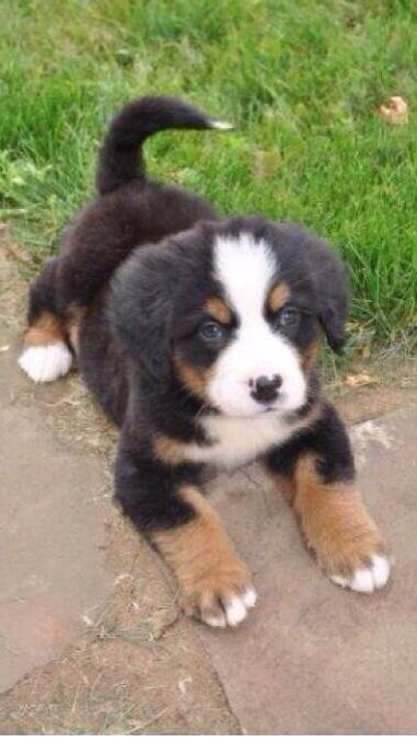 5494 Best Bernese Mountain Dogs Images On Pinterest
