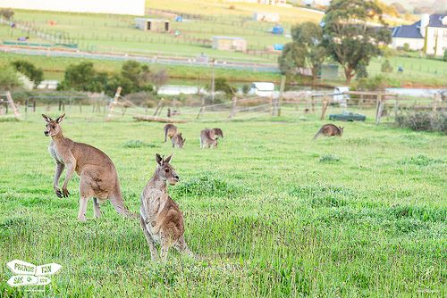 Kangaroos, near Melbourne Australia