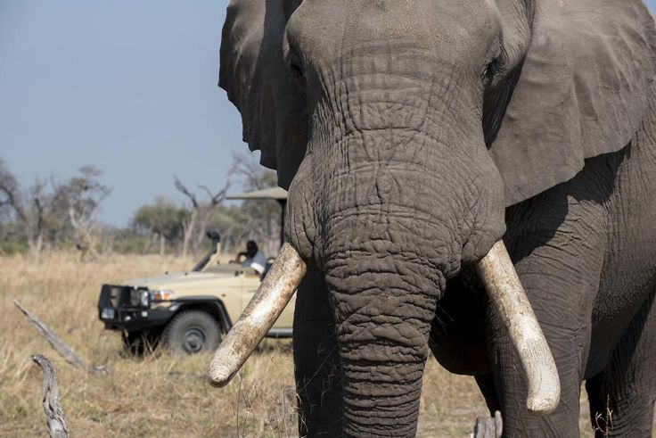 Khwai Tented Camp, Botswana. #Safari #Elephant #gamedrive #up-close #wildlife