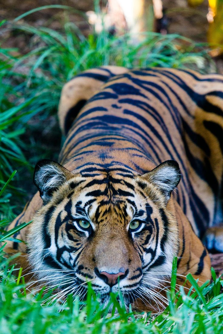 best tiger tattoo images on pinterest tattoo ideas tattoo