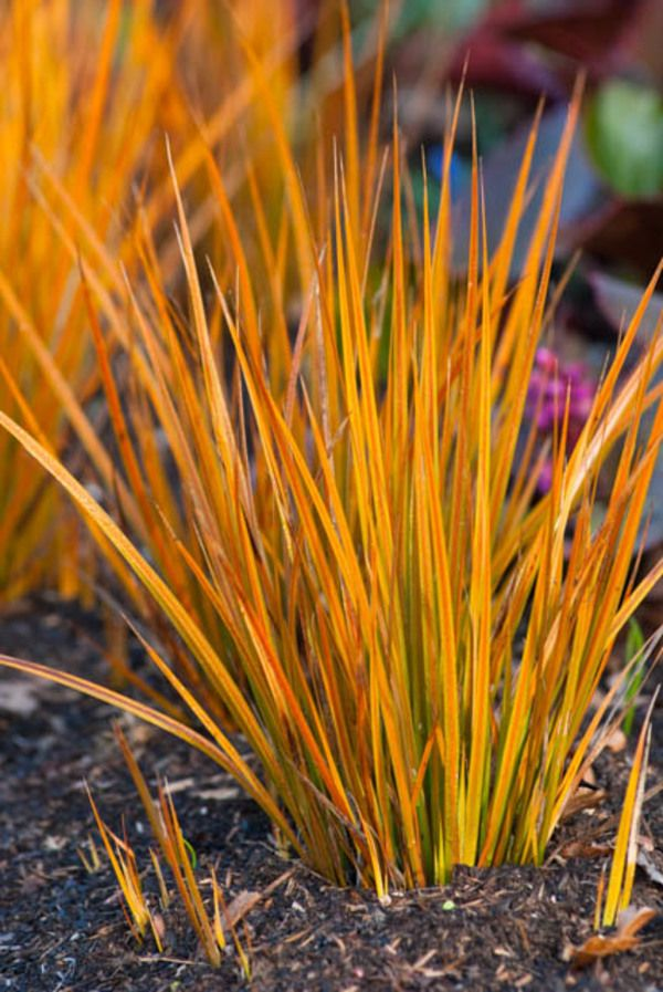 Extremely eye-catching with its stiff, sword-shaped golden green leaves shaded with orange, Libertia peregrinans (New Zealand Iris) is a rhizomatous perennial which adds sparkles to the border