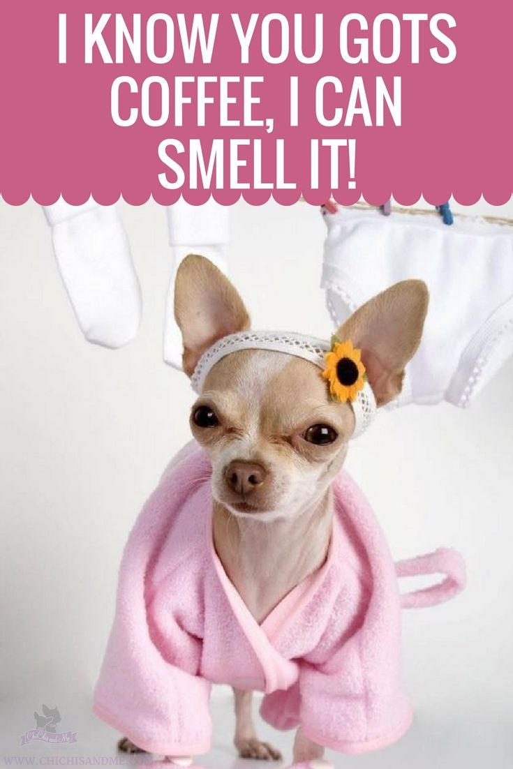 Title Everything You Need To Know About Chihuahuas Cute