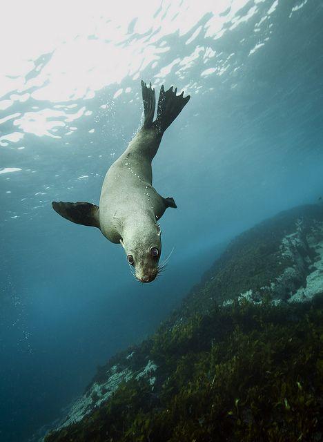 Fur seal, Doubtful Sound, Fiordland National Park, Southland, South Island, New Zealand