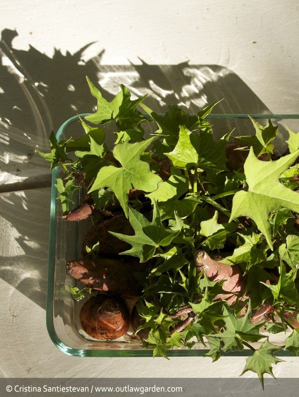 Cut potato in half. Place cut side down into a container with enough water so that about an inch or two of the potato is submerged. After 4-6 weeks, you should have a nice growth of little baby sweet potato plants: slips. Some will already have roots & are ready for planting. Remove the sprouts by snapping them off at the point where they emerge from the sweet potato tuber. Pinch off the rootless ones, place in water & in a few days they will root also.
