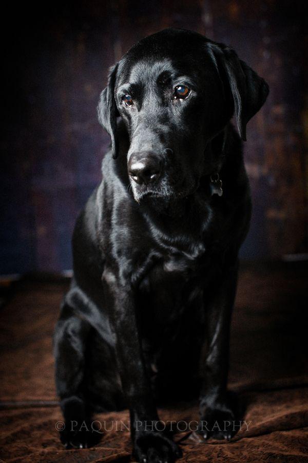 Tjusigt foto på en labrador.