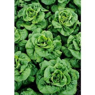 Buttercrunch Lettuce. Tolerates heat better and is larger than Bibb. Crisp and juicy, sometimes classified as a summer lettuce.