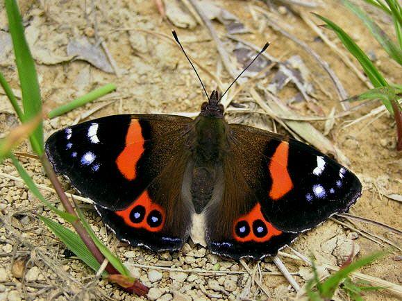 Butterflies of New Zealand - Vanessa gonerilla  New Zealand Red Admiral