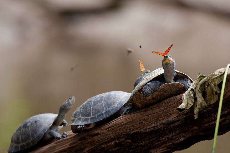 Photograph Captures Two 'Dryas Iulia' Butterflies Drinking the Tears of Turtles in Ecuador