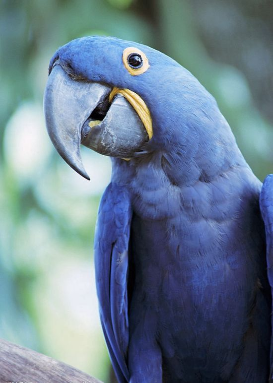 Hyacinth Macaw - the world's largest parrot :)
