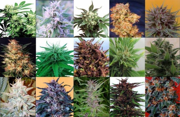 TOP 10 de las mejores variedades de marihuana para cultivar en interior y exterior - http://growlandia.com/marihuana/top-10-de-las-mejores-variedades-de-marihuana-para-cultivar-en-interior-y-exterior/