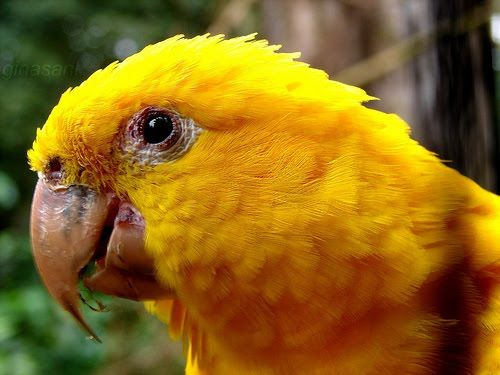Golden Conure | Papagaio ararajuba; Golden Conure (Aratinga guarouba) | Papagaios ...