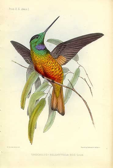 Antique print: picture of Blue-throated Star Frontlet Hummingbird - Colombia + Bolivia - Trochilus helianthus - fantastic iridescence in gold leaf