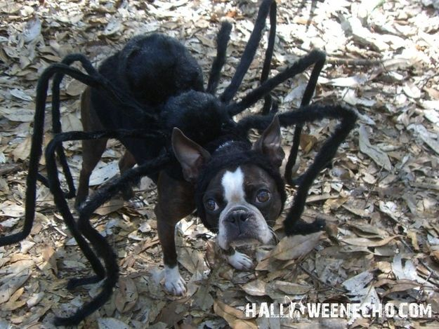 Here are some more of Echo's greatest looks, in case you need inspiration. He's been a spider: | 27 DIY Costume Ideas For Your Pet