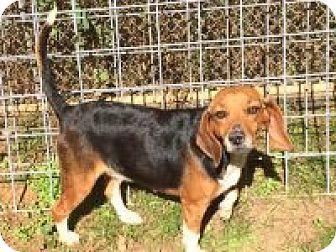 Dumfries, VA - Beagle Mix. Meet Lola, a dog for adoption. http://www.adoptapet.com/pet/16983882-dumfries-virginia-beagle-mix