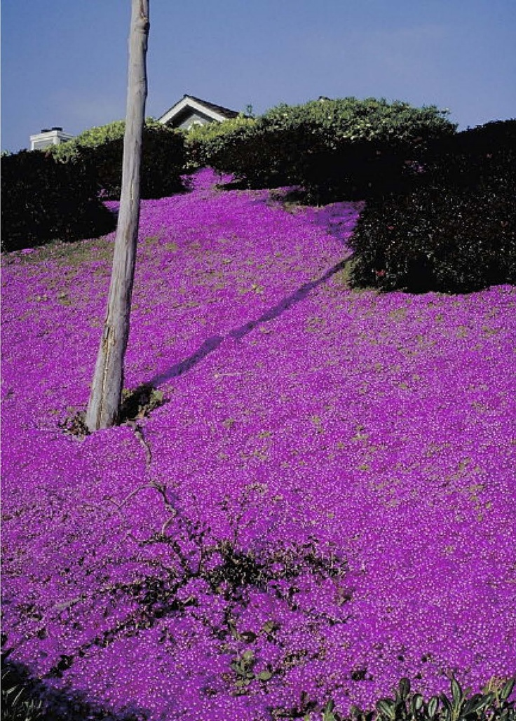 38 best images about q   g   groundcovers on pinterest