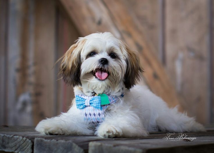 shih tzu collar 11 best mal shih images on pinterest pets little dogs 2014