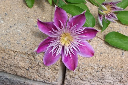 Empress hybrid clematis creeping through the stones | photo Tatiana Dokuchic | post Shades of May #flowers #garden