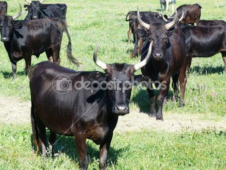 Bulls in Camargue, France