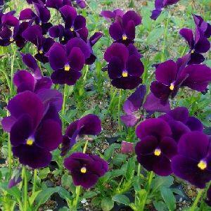 Viola cornuta Germanica / Hornviol