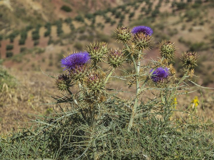 Thistles, Thorns, Thistle, Plant, Plant Wildlife  free