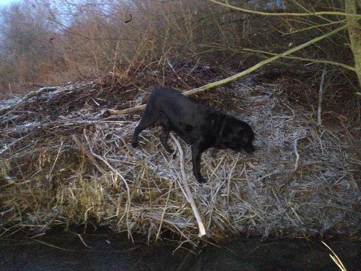 Labbi auf der Biberburg #labrador #labradorretriever #beaver #biber #biberdamm