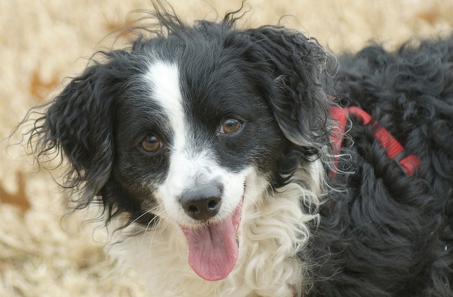 Bordoodle--Border Collie/Poodle Mix. My life will never be the same after this.