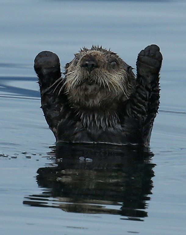 Northern Pacific Sea Otter with forearms raised 1CGS8862 - Northern Pacific Sea Otter (Enhydra lutris) with forearms raised like it is surrendering or signaling a touchdown!