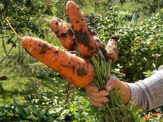 Как правильно посадить, например, морковь? Некоторые огородники смешивают её с песком и высеивают. А я это делаю... в киселе.Поверьте, это очень хороший способ. Варю из крахмала жидкий кисель, на …
