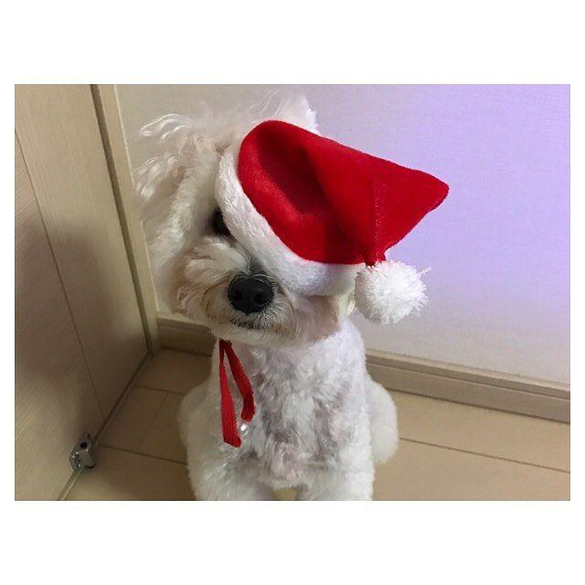 メリークリスマスイヴ🎅 我が家のサンタさんです。 被り物や服が嫌いなので、すぐに脱ごうと暴れちゃいます…! #サンタ #サンタコス #サンタクロース #クリスマス #christmas #クリスマスイブ #犬 #トイプードル #トイプードルホワイト #トイプードル部 #ペット #愛犬 #かわいい #家族 #わんこ