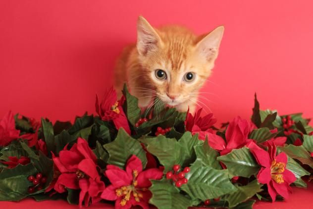 Bob - URGENT - City of Corsicana Animal Shelter, Corsicana, Texas - ADOPT OR FOSTER - 14 WEEK OLD Male Tabby Domestic SH