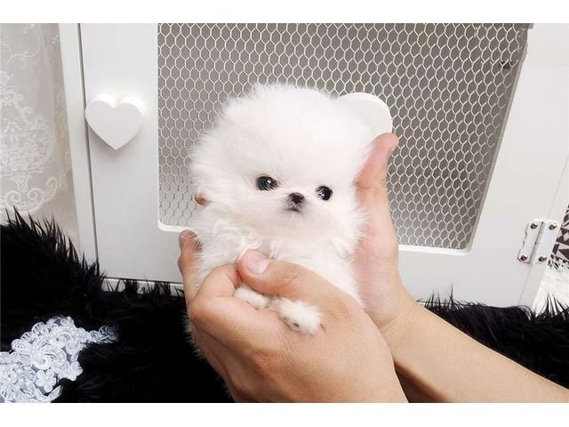 Adorable Pomeranian Puppies For Adoption Pomeranian Puppy Puppy Adoption Baby Animals Funny