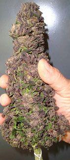 Deep purp nug http://www.spliffseeds.nl/silver-line/blue-berry-seeds.html