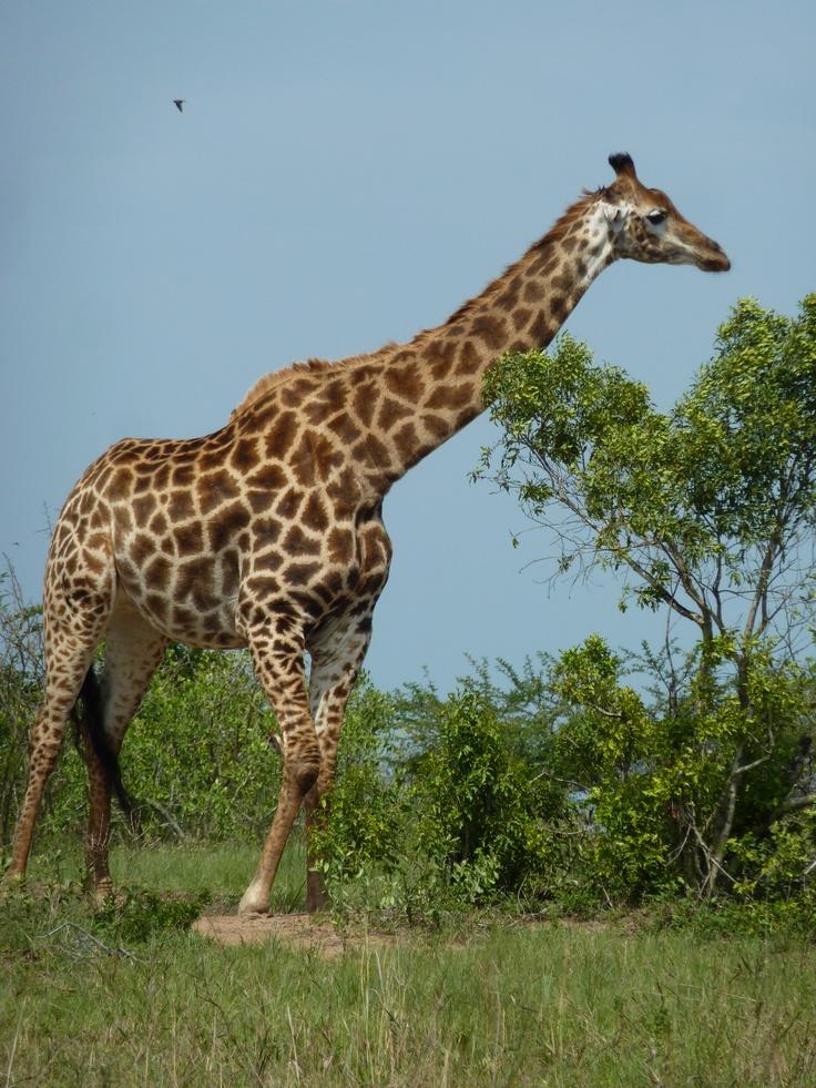 The Giraffe with her beautifull eyelashes