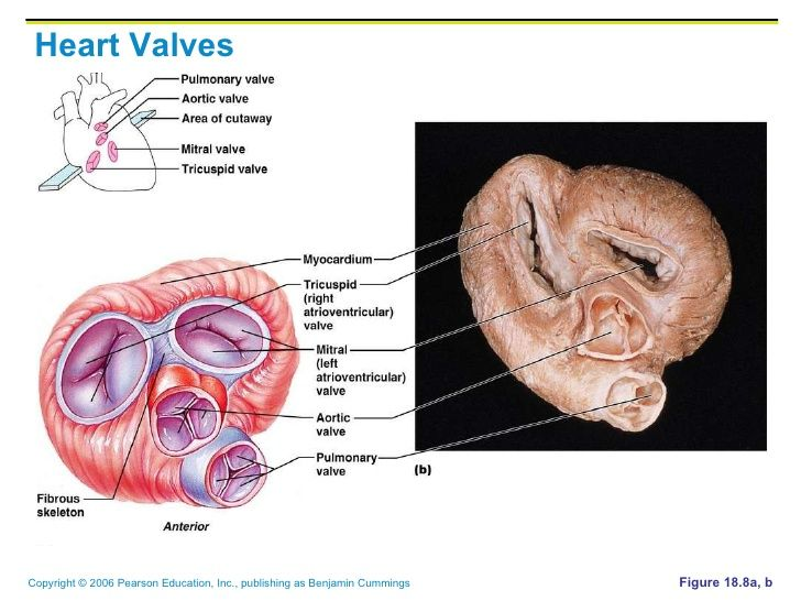 154 best Anatomy - Heart images on Pinterest | Anatomy, Anatomy ...