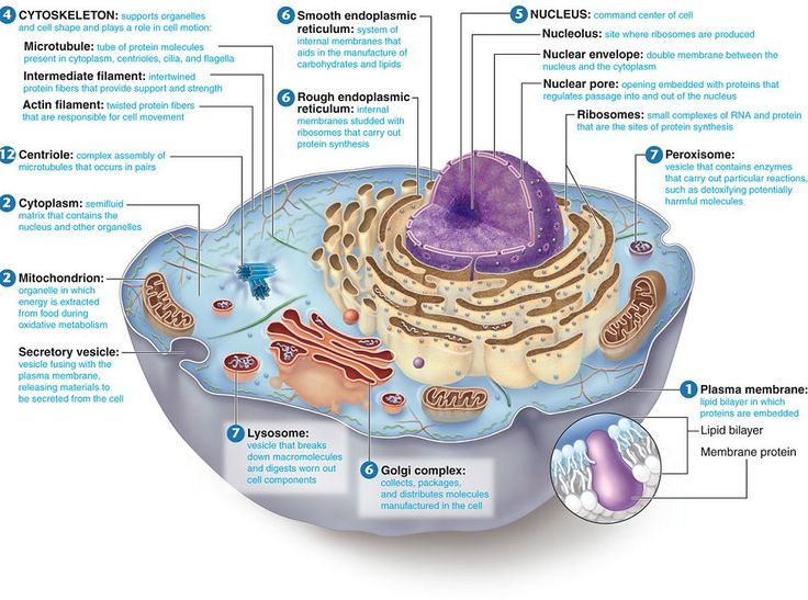 animal cell structure and function diagram | The Virus exists because of genetic material which provides it the ...
