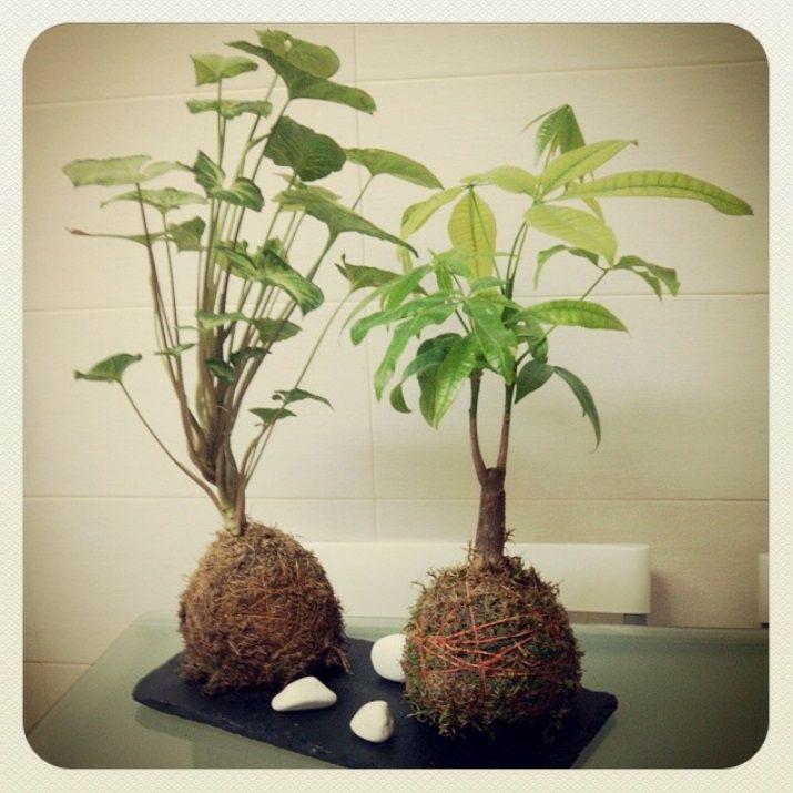 kokedamas de pachira y syrgonium #kokedamas #centrosdemesa #regalo #leavesdesign