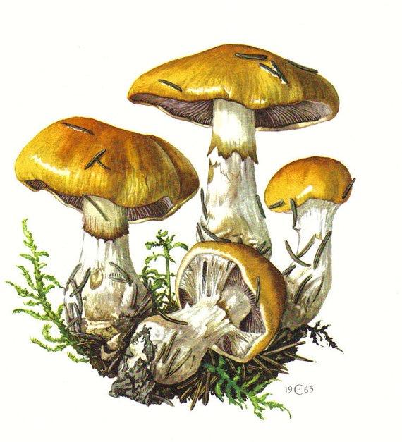 contrary webcap, cortinarius varius, original vintage lithograph, 1963