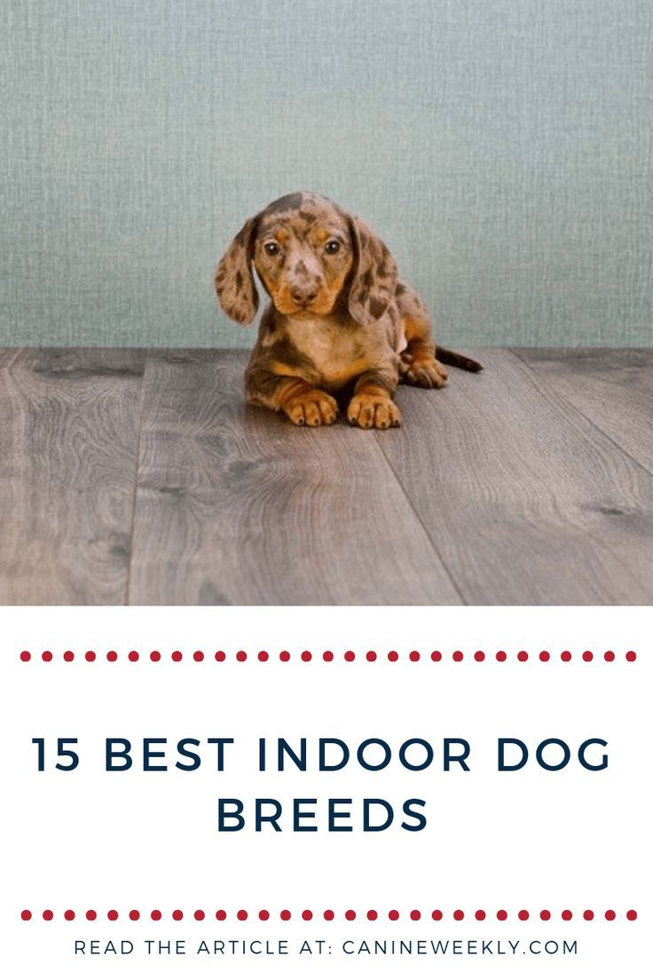 15 Best Indoor Dogs For Homebodies Best Small Dogs Miniature