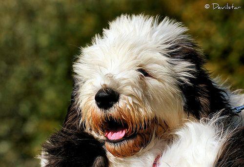 old english sheepdog!!!