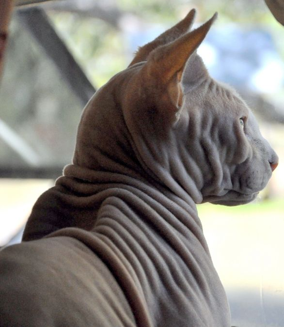 Hairless Wombat Pet 25+ best ideas about H...