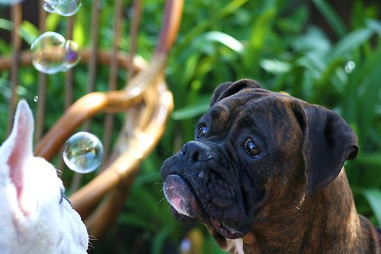 """Boxer Dogs and Bubbles"" by ritmoboxers"