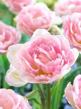 Tulip Angelique Value Pack late season bloom