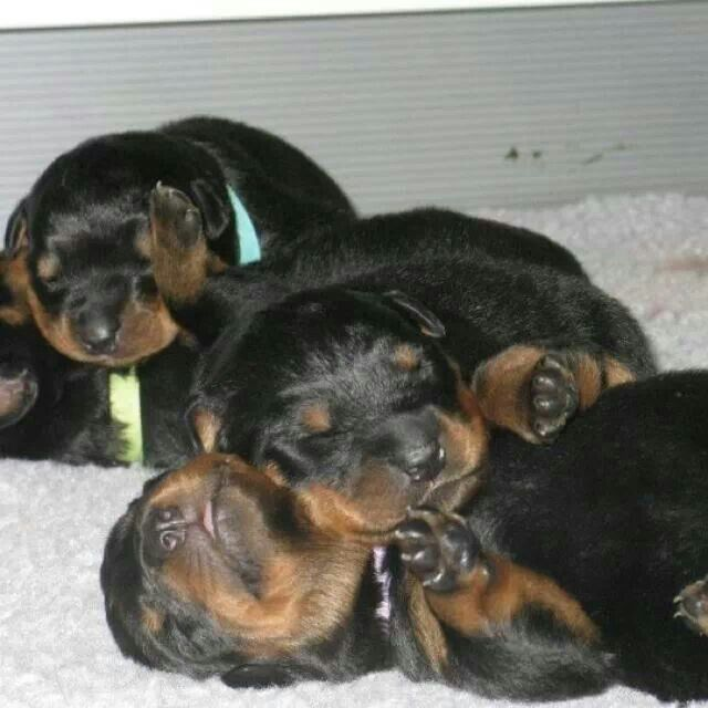 99 best images about rottweilers on Pinterest | Babies ...
