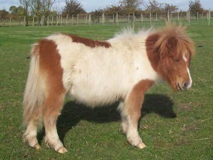 Todo Caballos y ponis: Pony Shetland