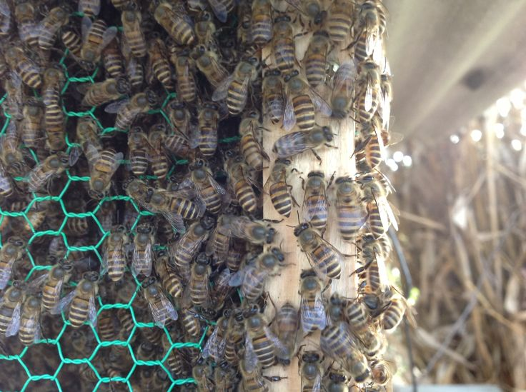 土岐市に生息しているニホンミツバチ群。